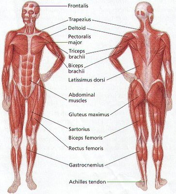 human body: questions, Muscles