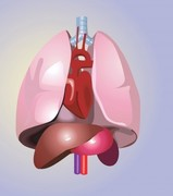 With which organ of the human body is the word pulmonary connected?