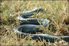Poisonous Snakes Quiz